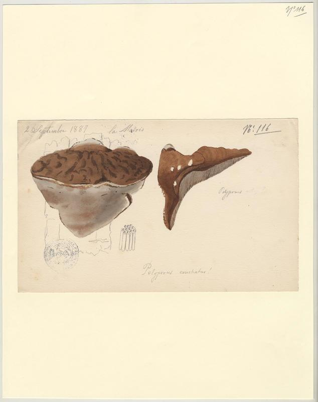 Polypore coquille ; champignon