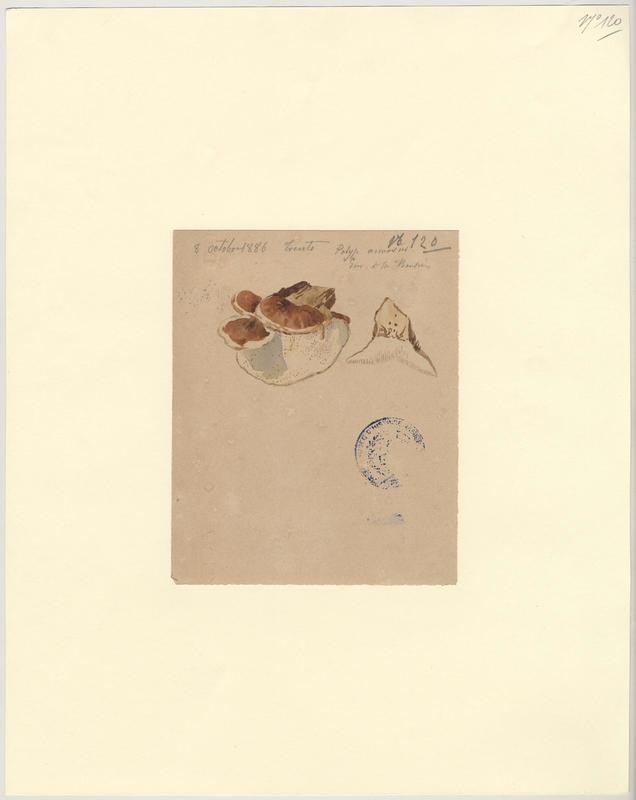 Polypore ; champignon_0