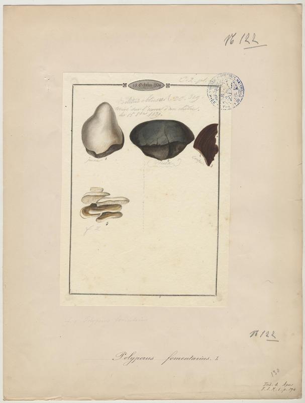 Amadouvier ; champignon_0