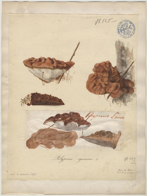 Polypore faux-amadouvier ; champignon_0