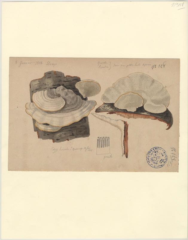 Tramète hirsute ; champignon