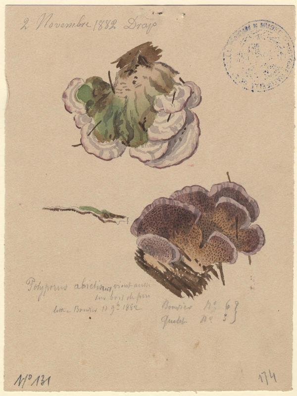 Polypore du sapin ; champignon