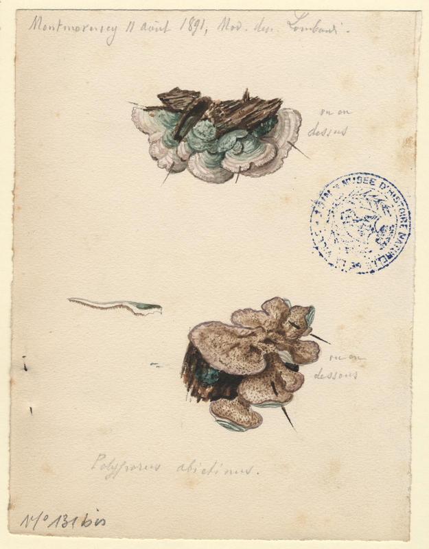 Polypore du sapin ; champignon_0