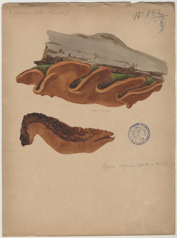Polypore rouillé ; champignon_0