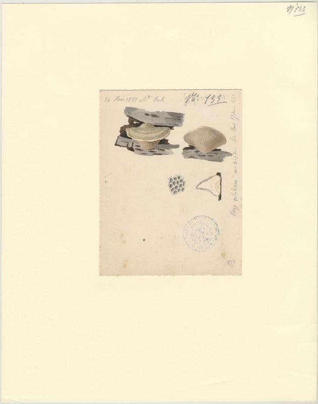 Tramète pubescent ; champignon_0