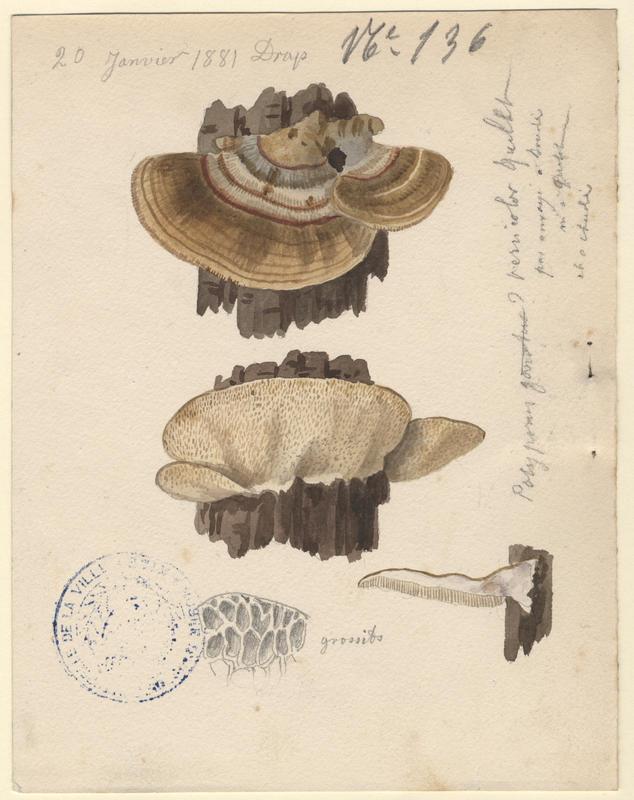 Tramète versicolore ; champignon