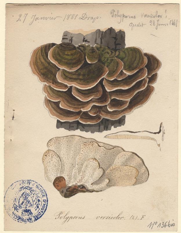 Tramète versicolore ; champignon_0