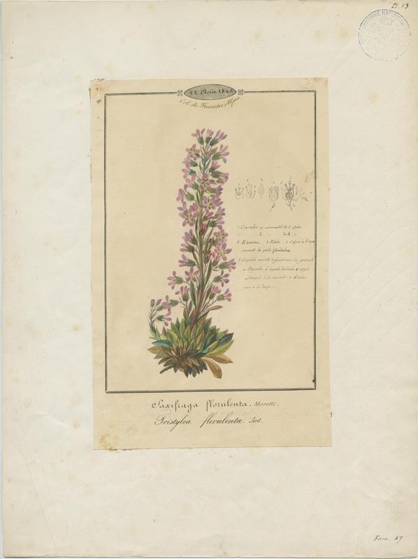 BARLA Jean-Baptiste (attribué à) : Saxifrage à fleurs nombreuses, plante à fleurs