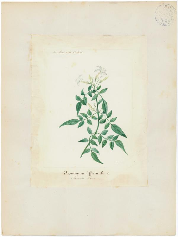 BARLA Jean-Baptiste (attribué à) : Jasmin blanc, plante à fleurs