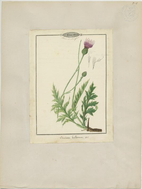 BARLA Jean-Baptiste (attribué à) : Cirse filipendule, plante à fleurs