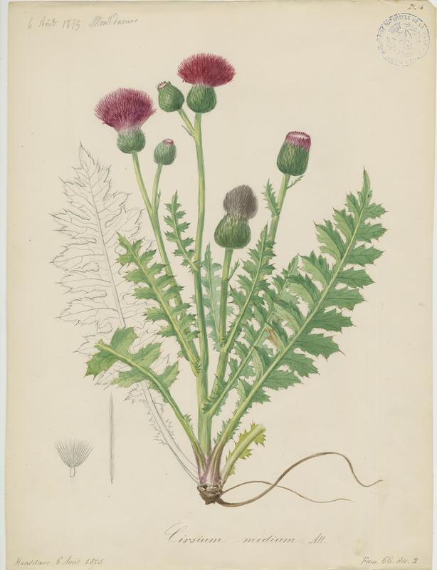 BARLA Jean-Baptiste (attribué à) : Chardon intermédiaire, plante à fleurs