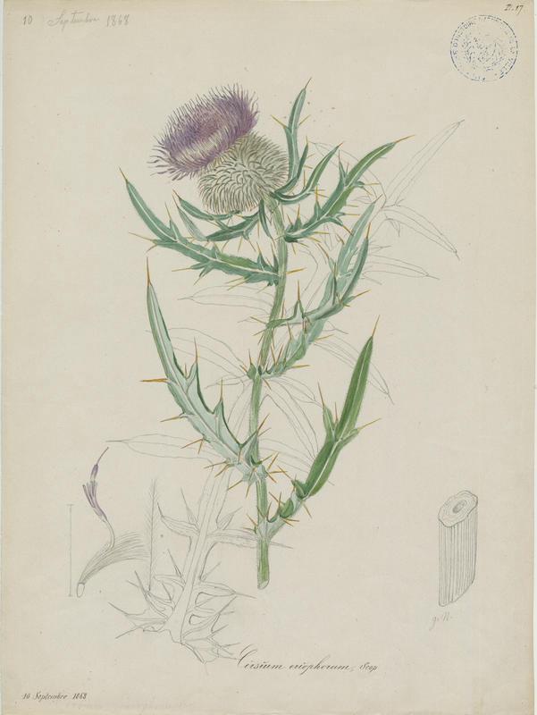 BARLA Jean-Baptiste (attribué à) : Cirse laineux, plante à fleurs