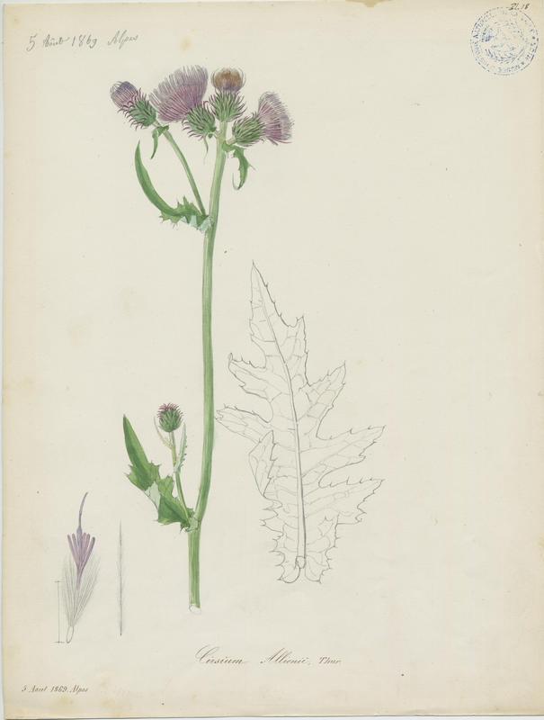 BARLA Jean-Baptiste (attribué à) : Cirse des montagnes, plante à fleurs