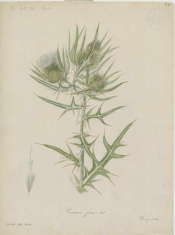 BARLA Jean-Baptiste (attribué à) : Cirse féroce, plante à fleurs