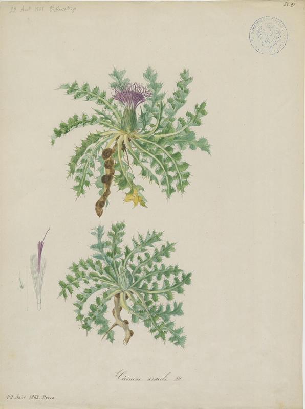FOSSAT Vincent (aquarelliste, peintre) : Cirse acaule, plante à fleurs