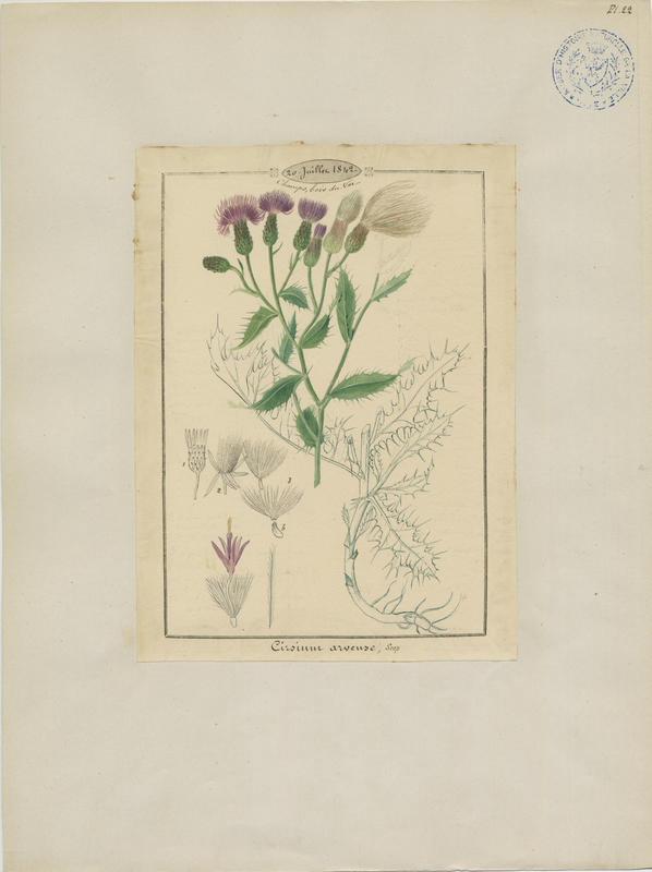BARLA Jean-Baptiste (attribué à) : Cirse des champs, plante à fleurs