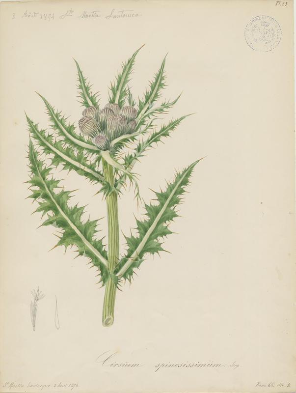 Cirse très épineux ; plante à fleurs_0