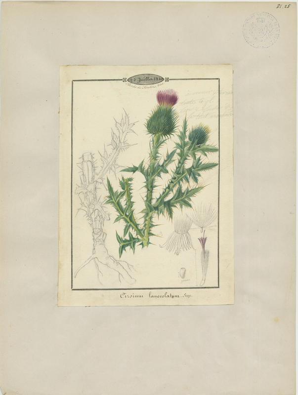 BARLA Jean-Baptiste (attribué à) : Cirse à feuilles lancéolées, plante à fleurs