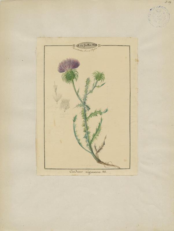 Chardon noircissant ; plante à fleurs_0