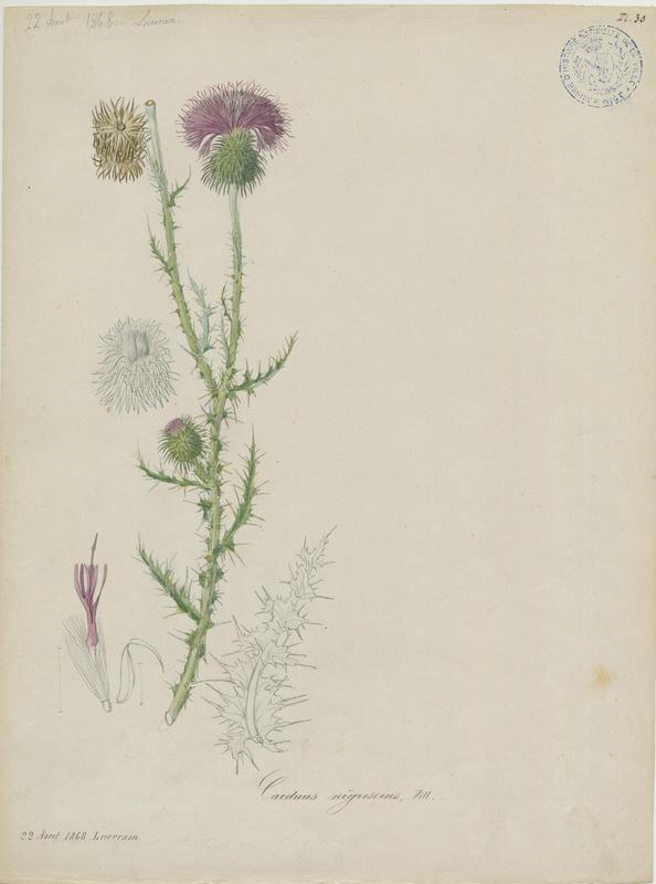 BARLA Jean-Baptiste (attribué à) : Chardon noircissant, plante à fleurs