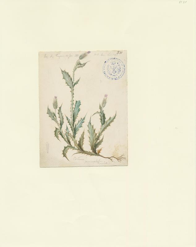 Chardon à capitules denses ; plante à fleurs_0