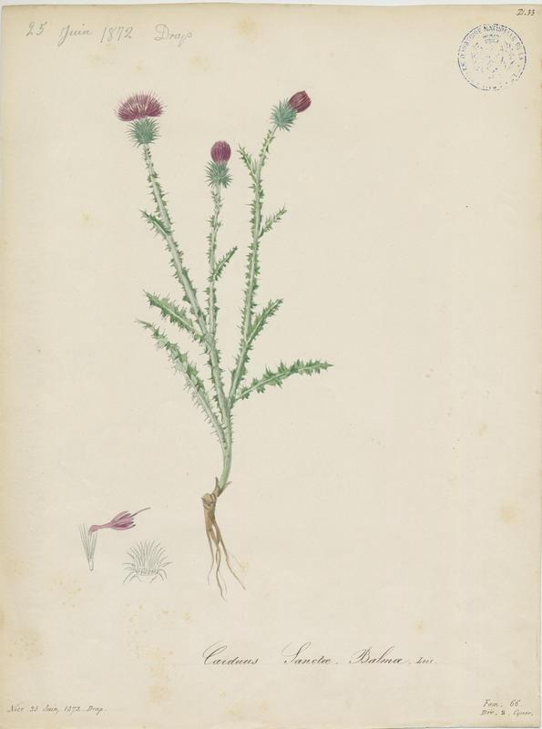 BARLA Jean-Baptiste (attribué à) : Chardon de la Sainte-Beaume, plante à fleurs