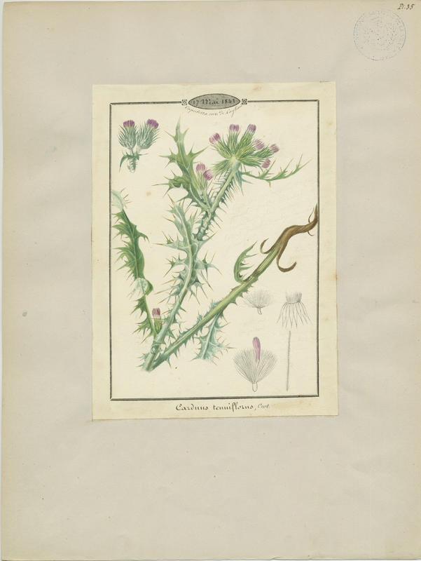 BARLA Jean-Baptiste (attribué à) : Chardon à capitules grêles, plante à fleurs