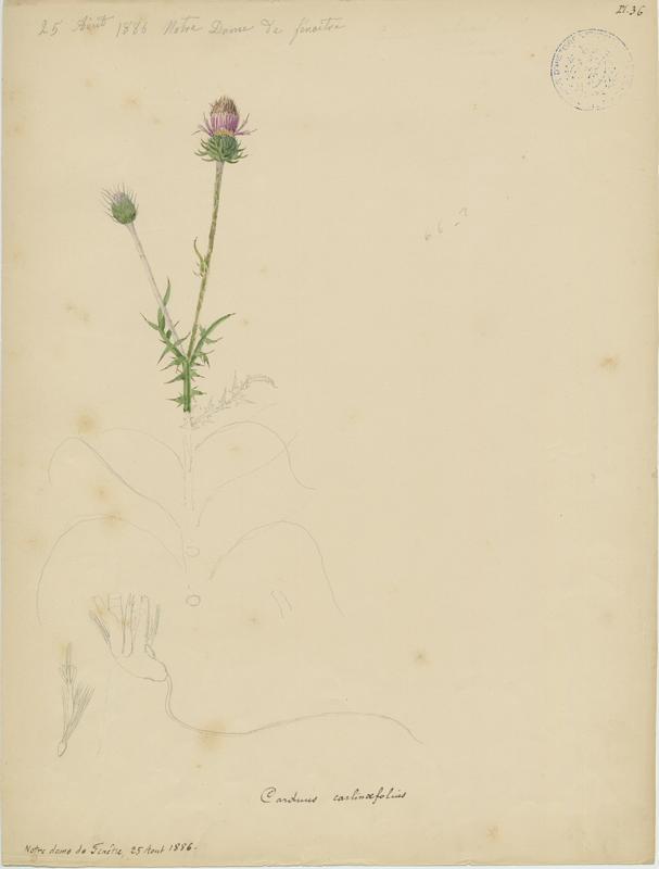 BARLA Jean-Baptiste (attribué à) : Chardon à feuilles de carline, plante à fleurs