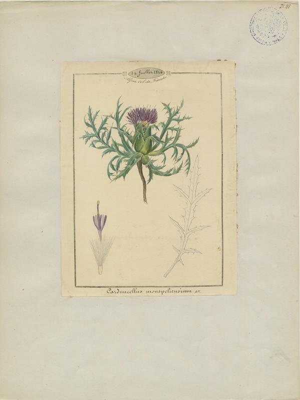 BARLA Jean-Baptiste (attribué à) : Cardoncelle de Montpellier, plante à fleurs