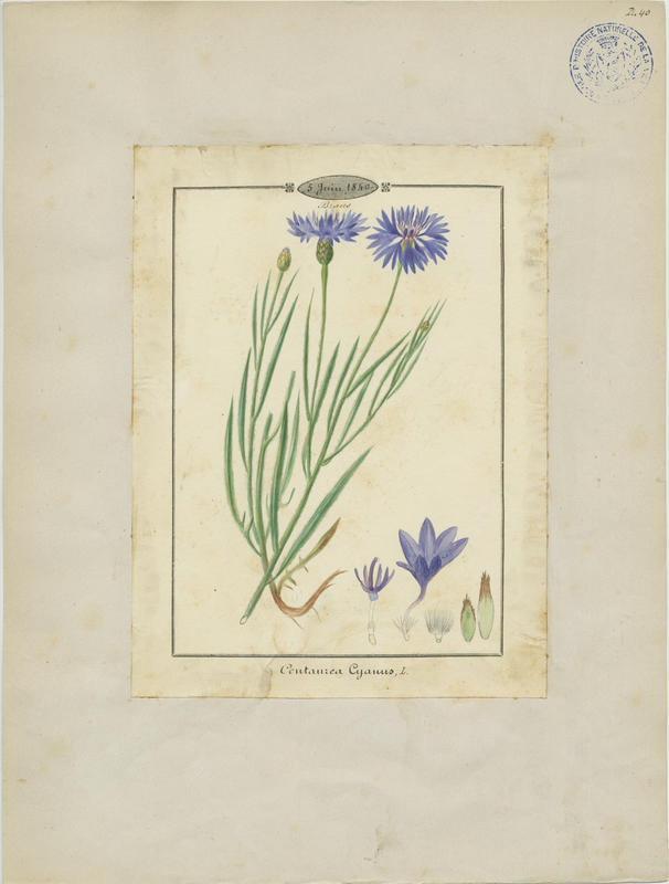 BARLA Jean-Baptiste (attribué à) : Bleuet, plante à fleurs