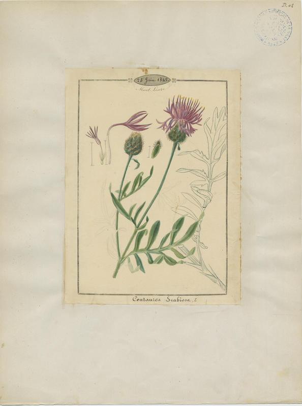 Centaurée scabieuse ; plante à fleurs_0