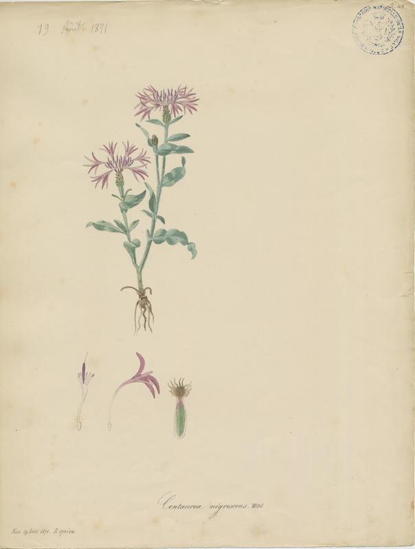BARLA Jean-Baptiste (attribué à) : Centaurée noirâtre, plante à fleurs
