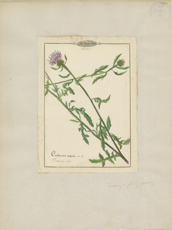 BARLA Jean-Baptiste (attribué à) : Centaurée rude, plante à fleurs