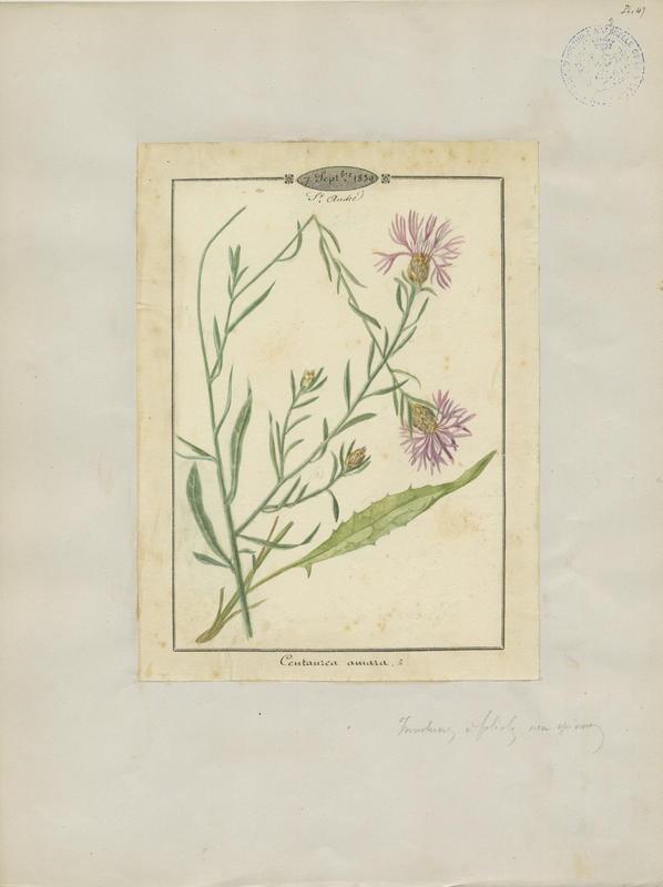 BARLA Jean-Baptiste (attribué à) : Centaurée amère, plante à fleurs