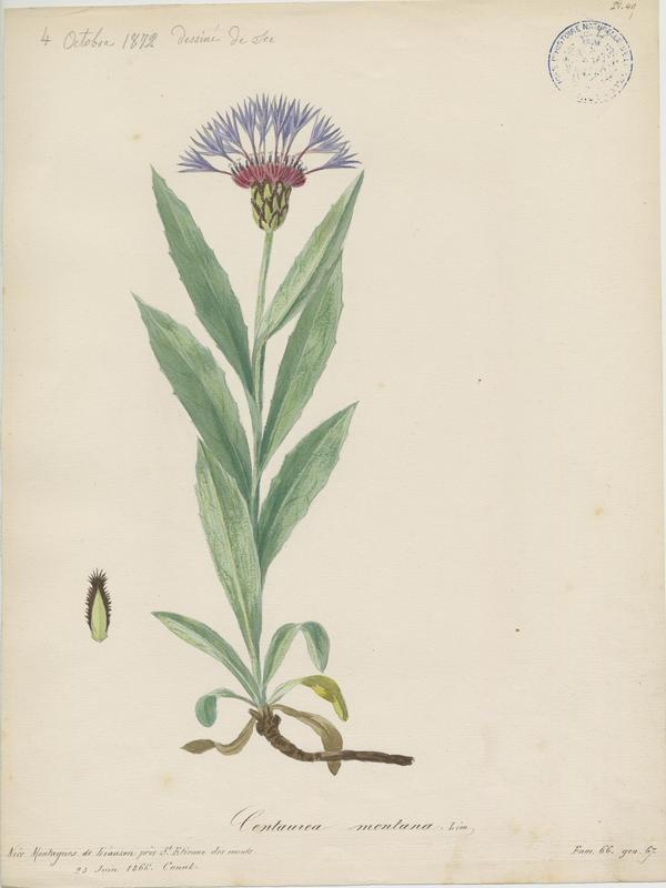 BARLA Jean-Baptiste (attribué à) : Bleuet des montagnes, plante à fleurs
