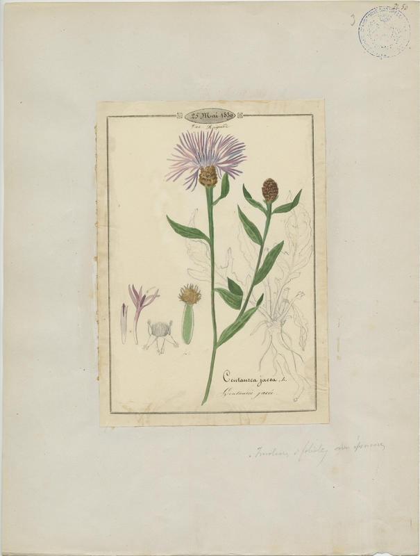 BARLA Jean-Baptiste (attribué à) : Centaurée jacée, plante à fleurs