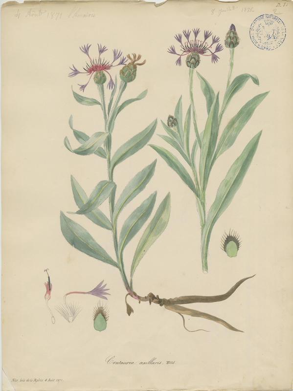 BARLA Jean-Baptiste (attribué à) : Centaurée de Trionfetti, plante à fleurs
