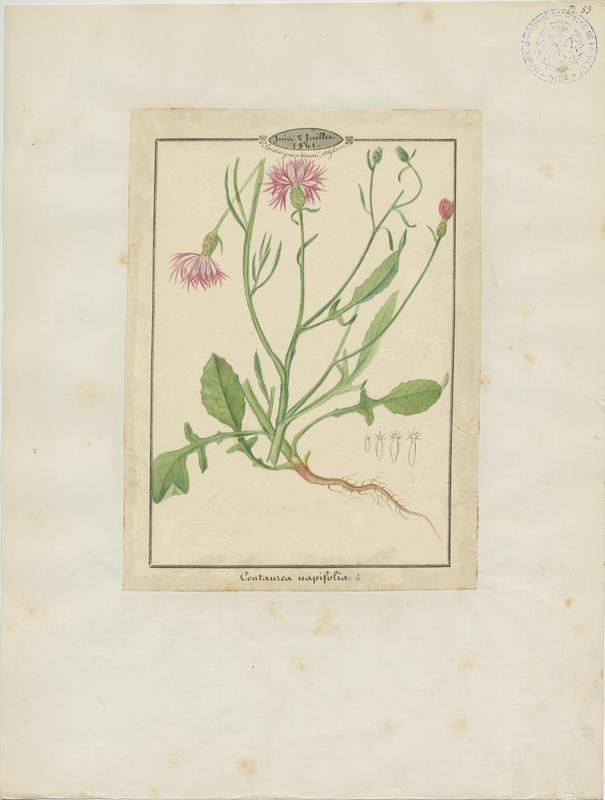 BARLA Jean-Baptiste (attribué à) : Centaurée à feuilles de navet, plante à fleurs