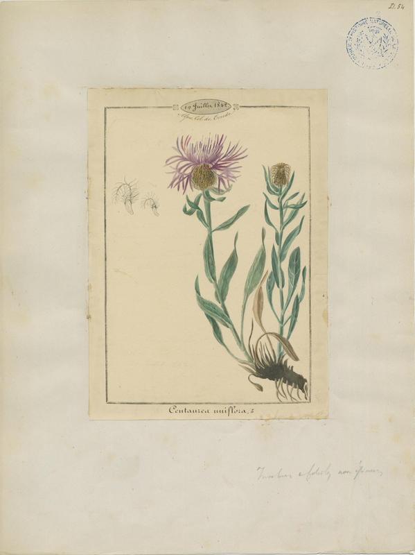 Centaurée à un capitule ; plante à fleurs_0