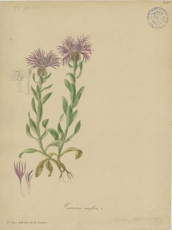 BARLA Jean-Baptiste (attribué à) : Centaurée à un capitule, plante à fleurs