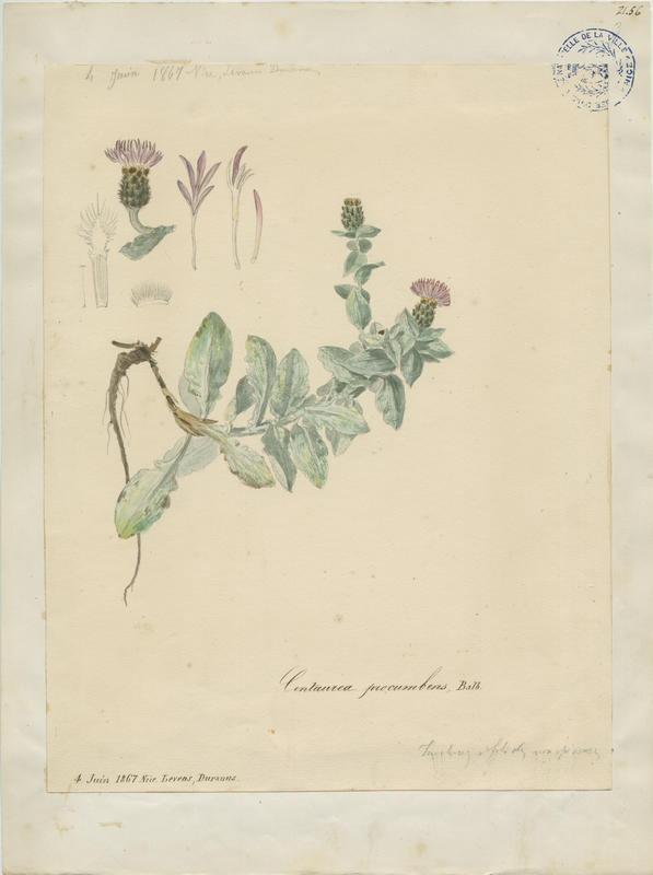 BARLA Jean-Baptiste (attribué à) : Centaurée de Balbis, plante à fleurs