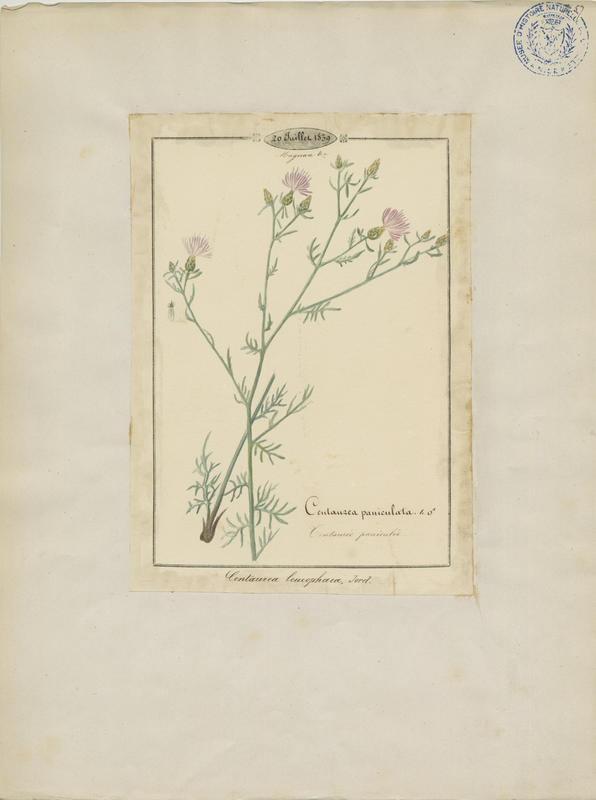 Centaurée gris-cendré ; plante à fleurs_0