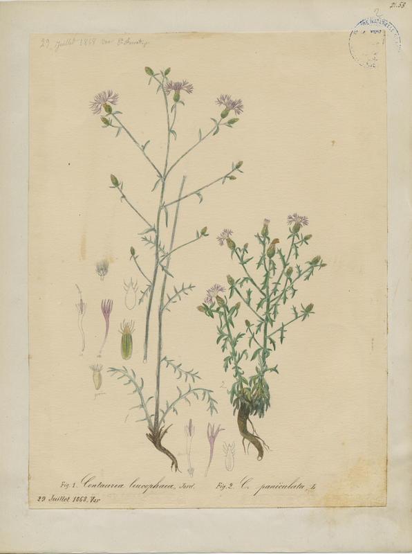 FOSSAT Vincent (aquarelliste, peintre) : Centaurée gris-cendré, plante à fleurs
