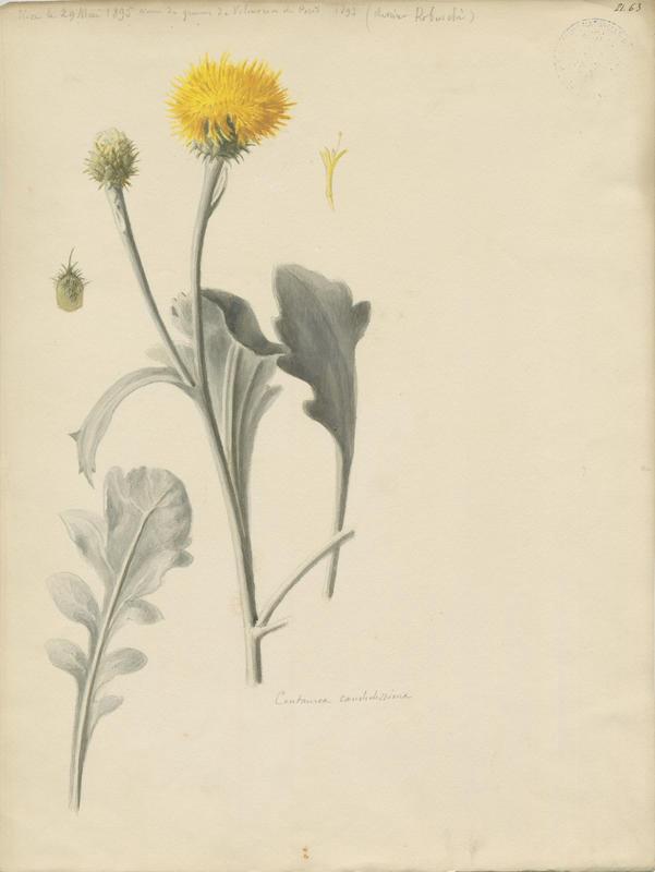 Centaurée candidissima ; plante à fleurs_0