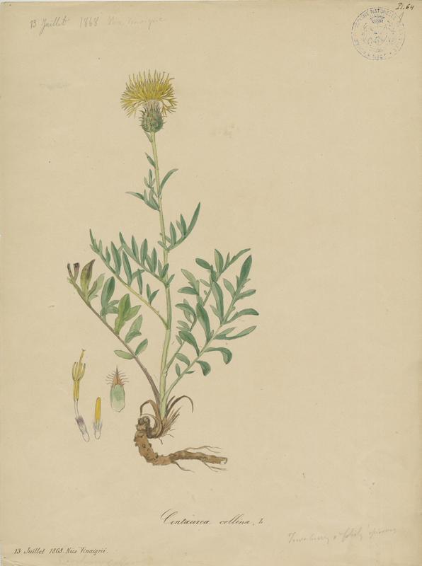 Centaurée des collines ; plante à fleurs_0