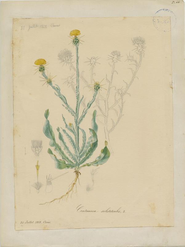 BARLA Jean-Baptiste (attribué à) : Centaurée du solstice, plante à fleurs