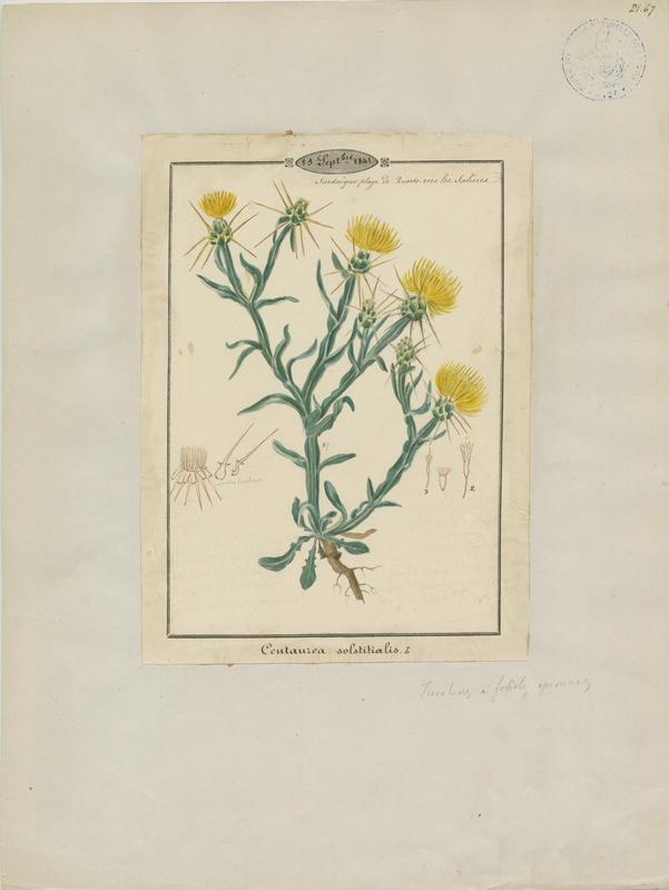 Centaurée du solstice ; plante à fleurs_0