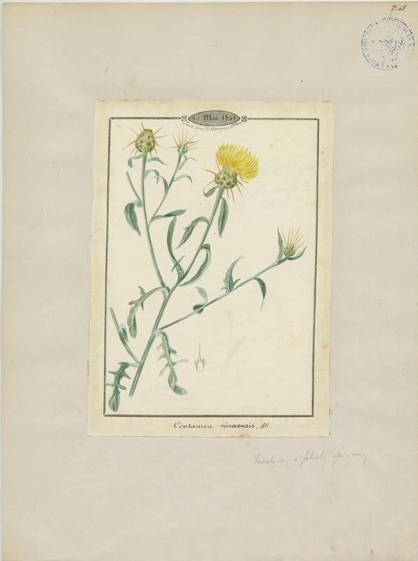 BARLA Jean-Baptiste (attribué à) : Centaurée de Nice, plante à fleurs