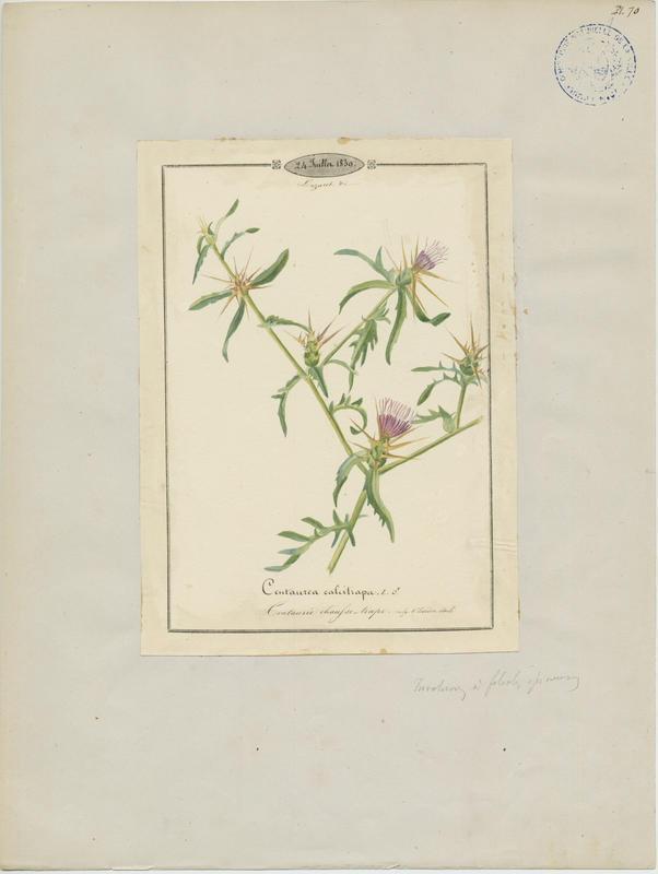 BARLA Jean-Baptiste (attribué à) : Centaurée chausse-trappe, plante à fleurs
