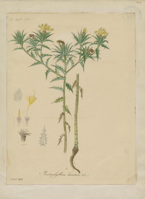 Carthame laineux ; plante à fleurs_0